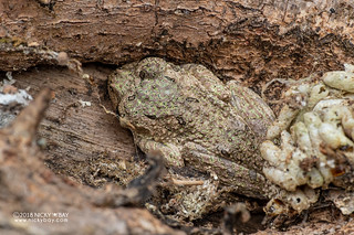 Warty bright-eyed frog (Boophis guibei) - DSC_7509