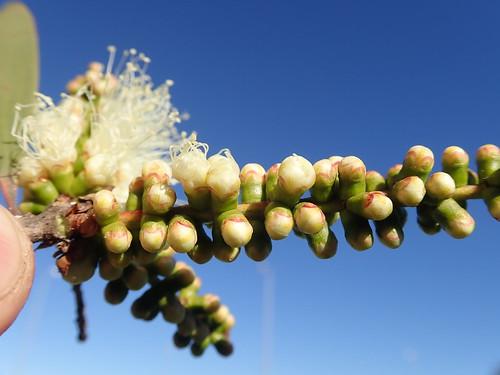 Melaleuca quinquenervia flowerbud NC 1