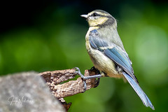 Blue tit/Pimpelmees