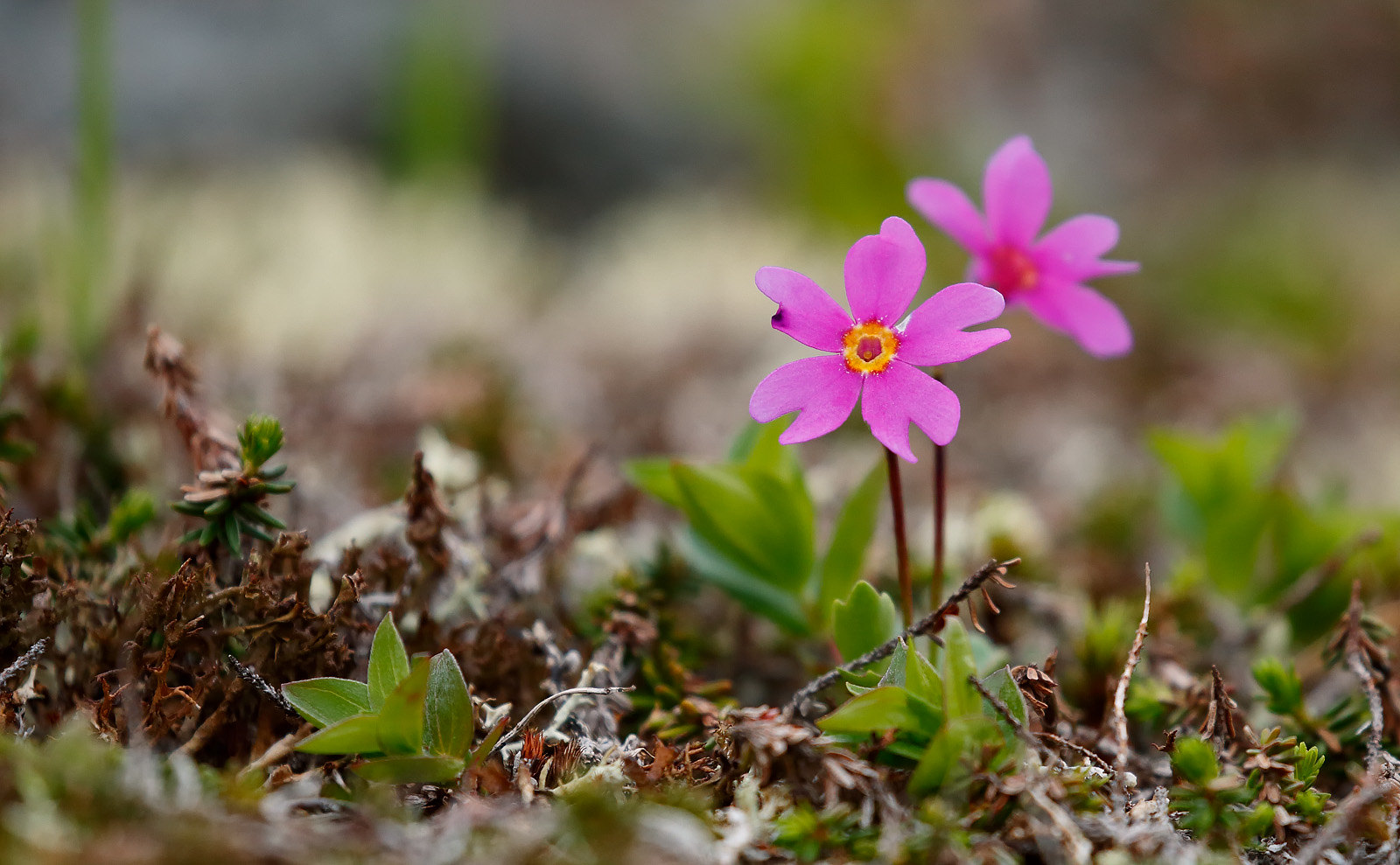 Wedgeleaf Primrose (Primula cunefolia)