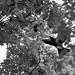 Eastern Jungle Crow (Corvus macrorhynchos levaillantii) 6 by BenjaminMichaelMarshall