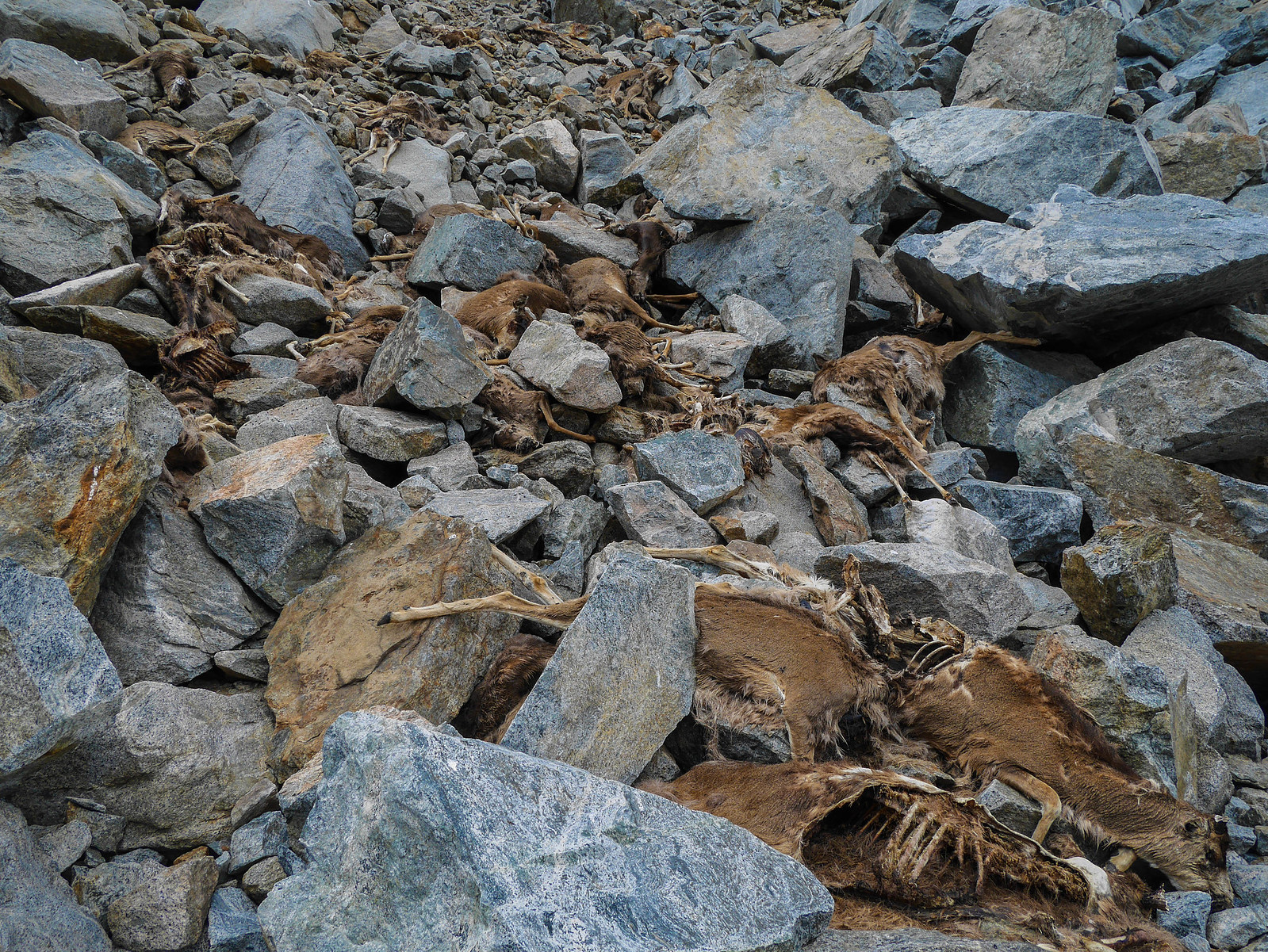 At least 30 dead deer that got caught in a rockslide or avalanche last fall