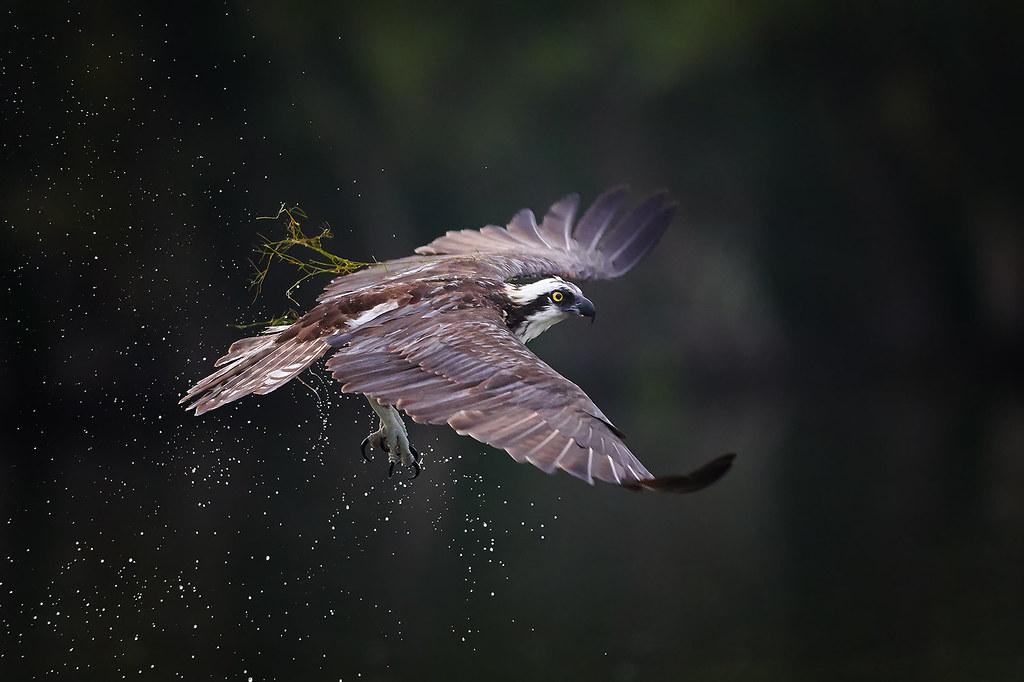Vegetarian Osprey