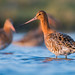 Black-tailed godwits by JamesO'Neill