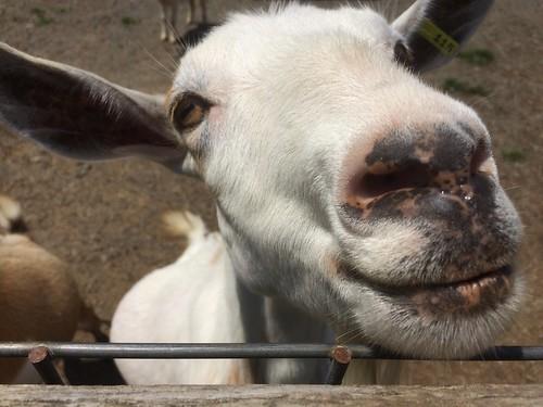 Goats, Roer's Zoofari