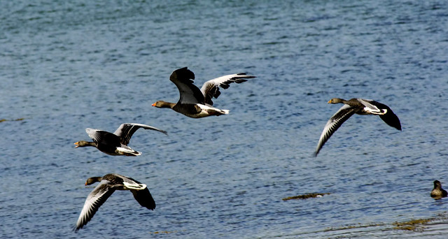 Graylag geese-2