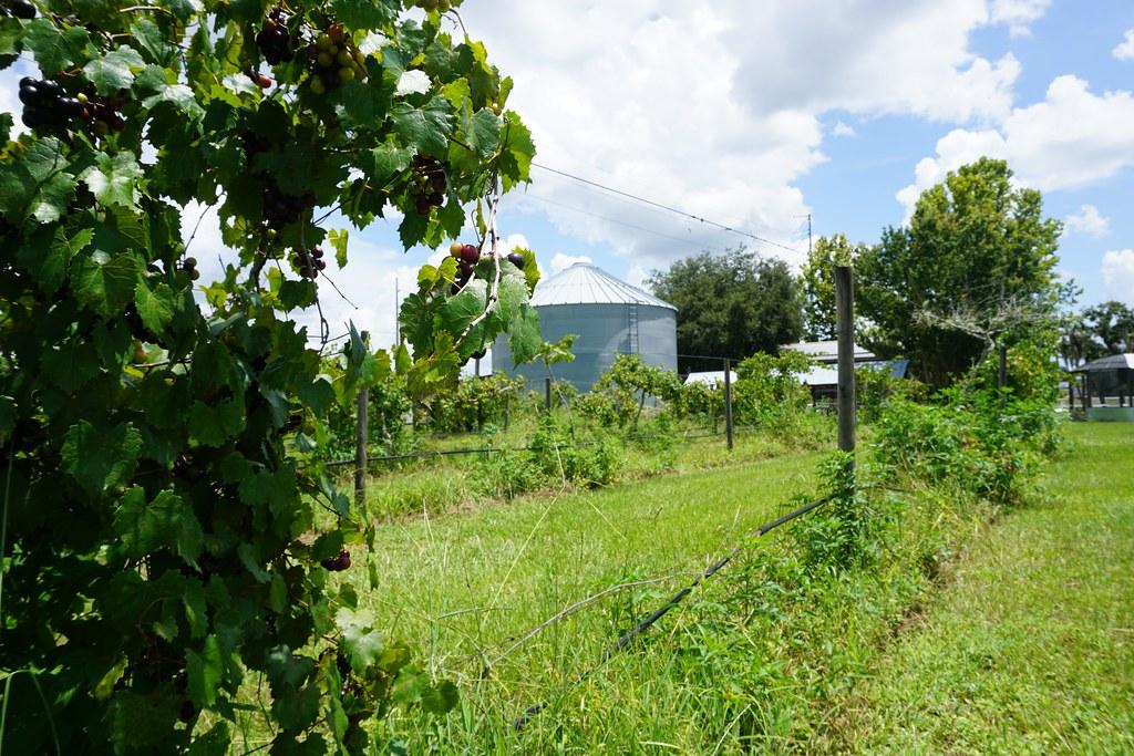 Henscratch Farms Vineyard and Winery, Lake Placid, Fla., July 2018