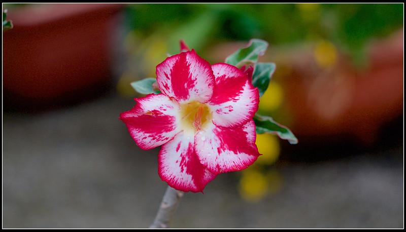 沙漠玫瑰-P4240684 (1)
