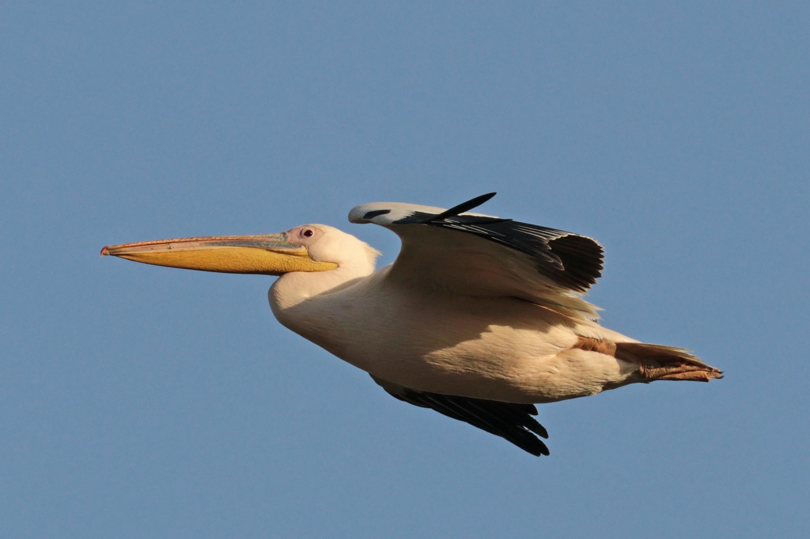 Great white pelican (Pelecanus onocrotalus) in flight over Lake Ziway, Ethiopia. Photo taken on December 20, 2017.