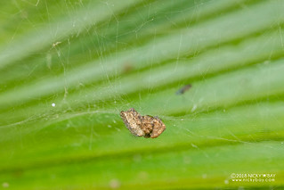 Tent web spider (Cyrtophora cf. citricola) - DSC_6880