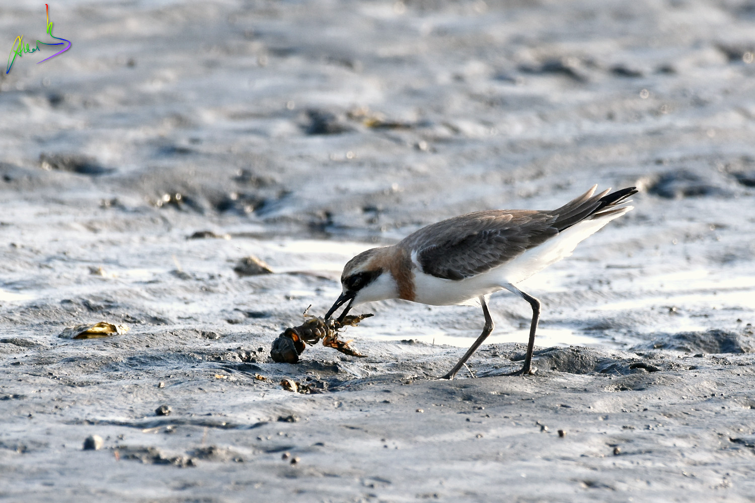 Greater_sand_plover_2554