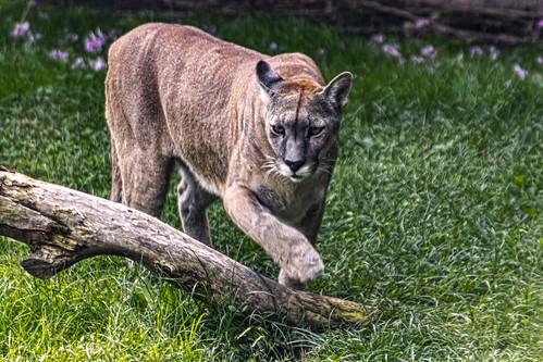 El Puma.