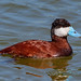 Ruddy Duck Drake (Oxyura jamaicensis) by Don Dunning