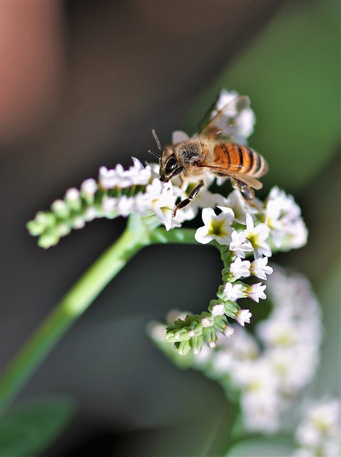 Honey Bee, Canon EOS REBEL T3, Canon EF 100mm f/2.8 Macro USM