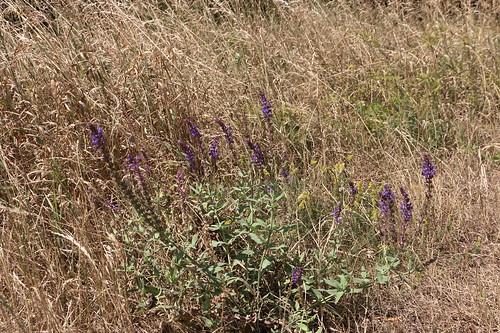 Salvia nemorosa, Hain-Salbei, Steppen-Salbei