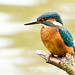 Kingfisher of the week!