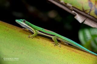 Lined day gecko (Phelsuma lineata) - DSC_7069