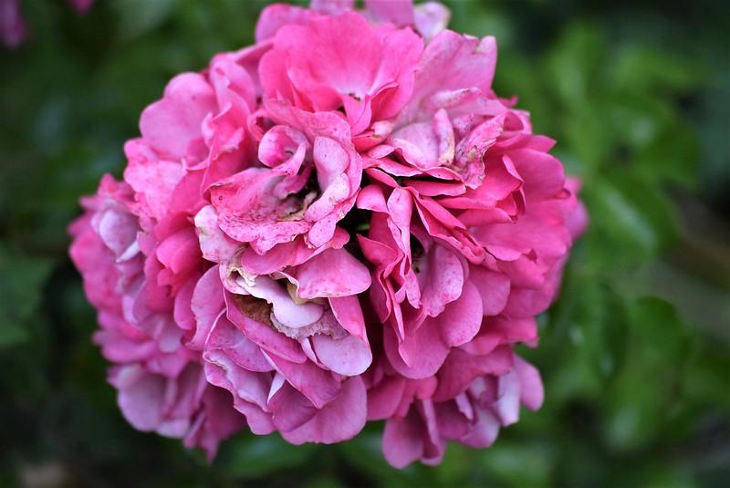 Rose 22.07 (2)