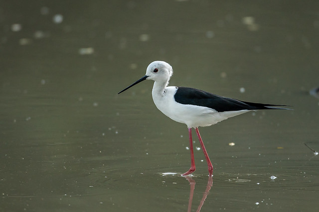 Black-winged Stilt, Sony ILCE-7RM3, Canon EF 500mm f/4L IS