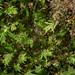 Common Pocket-moss - Fissidens taxifolius var.taxifolius