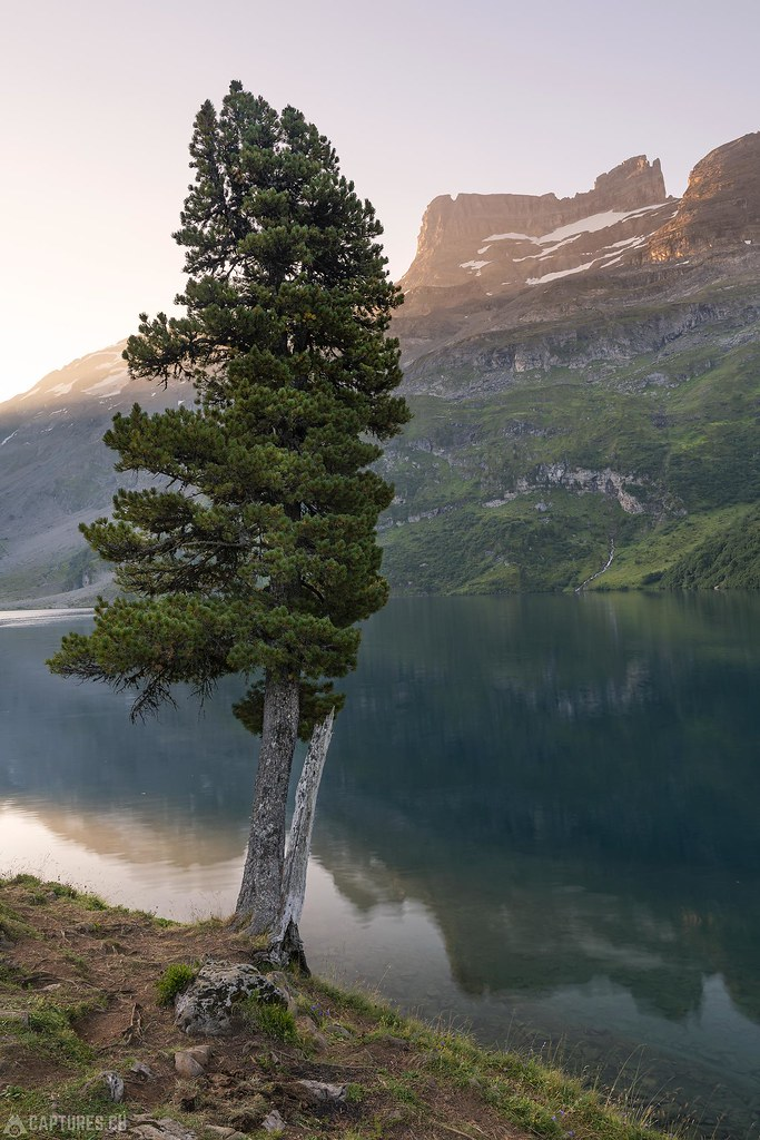 Tree at the lake - Engstligenalp