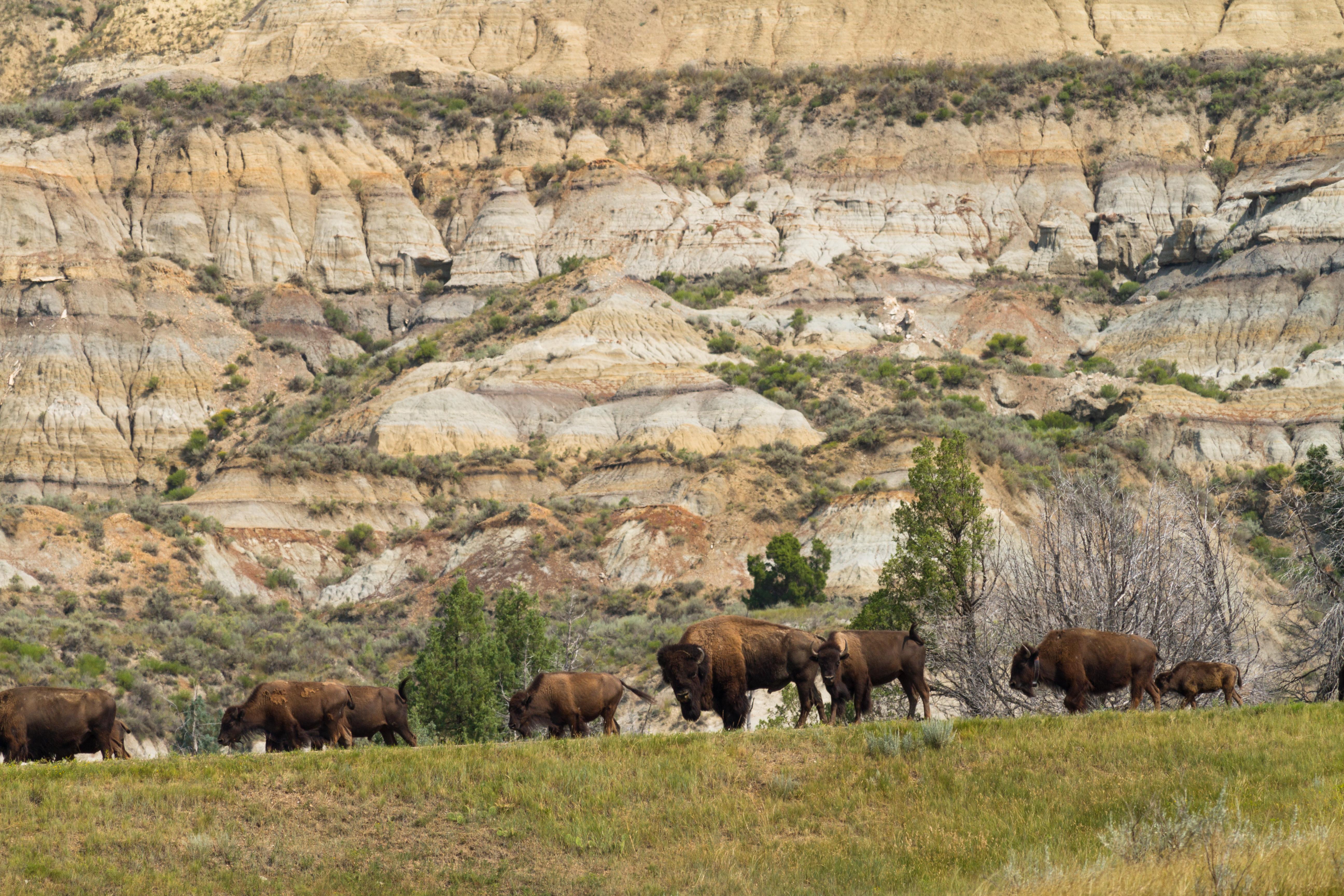 theodore roosevelt bison