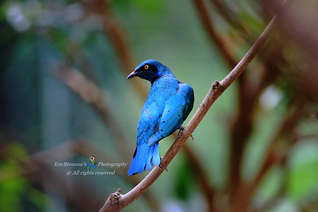 6F8A0107 Greater Blue-eared Starling, Canon EOS 7D MARK II, EF400mm f/5.6L USM