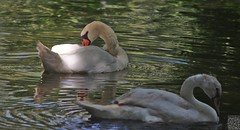 Cygne blanc, cygne noir - Photo of Vibrac