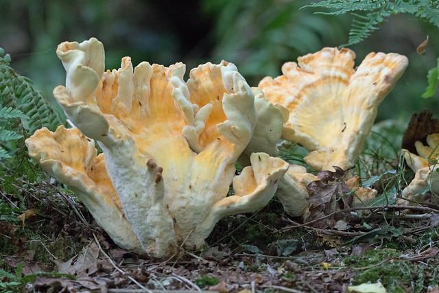 Chicken Of The Woods (Laetiporus sulphureus) - White Down Copse, Broadclyst, Exeter , Devon - July 2018