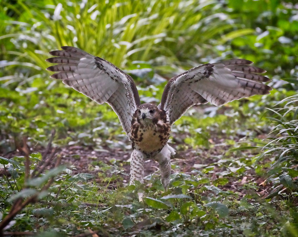 Tompkins hawk fledgling playing in the garden