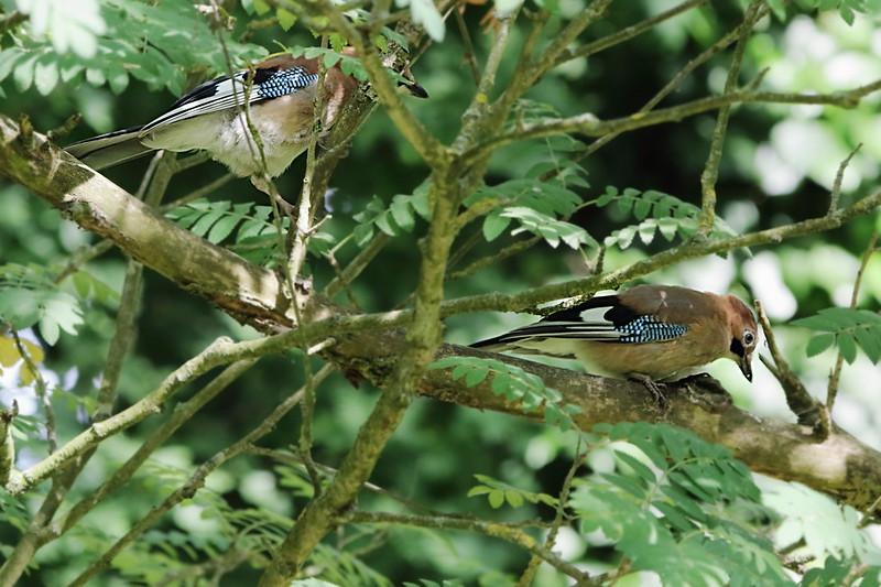 Juvenile Jays