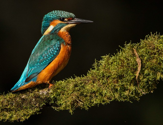 Kingfisher showing off its, Canon EOS 7D MARK II, Sigma 150mm f/2.8 EX DG OS HSM APO Macro