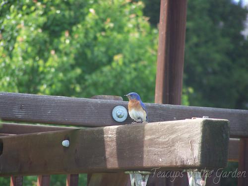 100_4729-bluebird
