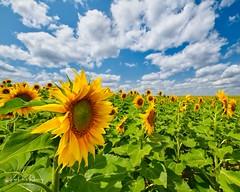 2018 July 27 Sunflowers