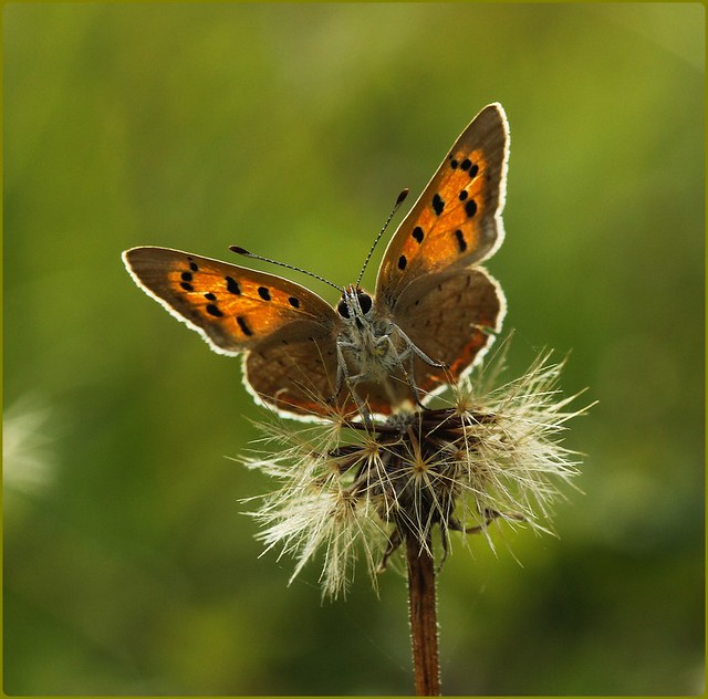 Small Copper - Head on view