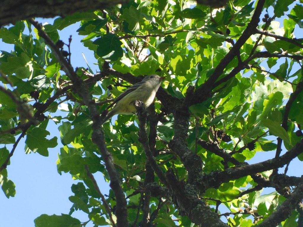 Hammond's Flycatcher at Mitchell Canyon