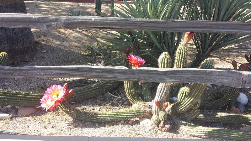 The neighbor's blooming cactus