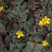 Procumbent Yellow Sorrel - Oxalis corniculata