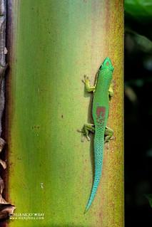 Lined day gecko (Phelsuma lineata) - DSC_7065