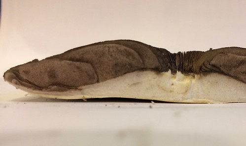 Mushroom - Horse (Agaricus arvensis)