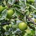 Wild Apple (Malus sylvestris)