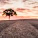 Lone Tree surround by crop