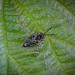 Little Nomad Bee - Nomada flavoguttata