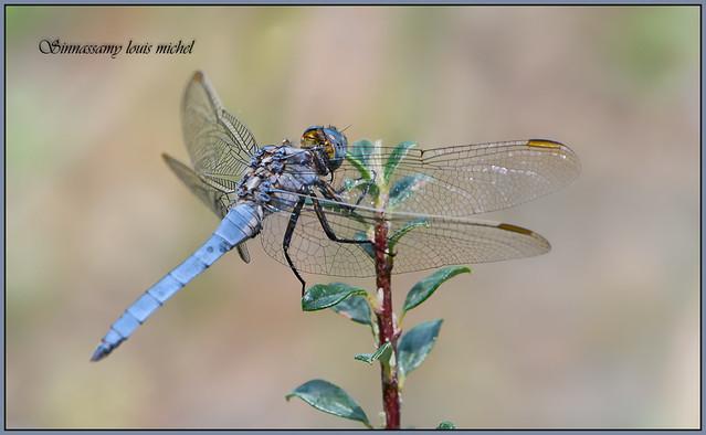 Dragonfly Libellule Orth trum, Nikon D500, AF-S DX Micro Nikkor 85mm f/3.5G ED VR