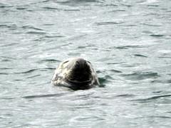 Grey Seal off Jura
