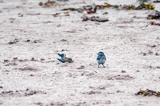 Linnet vs pied wagtail