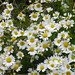 Daisies, Allanfearn Bay, Near Inverness, July 2018