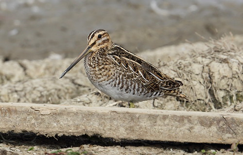 Common Snipe,click to view LARGE