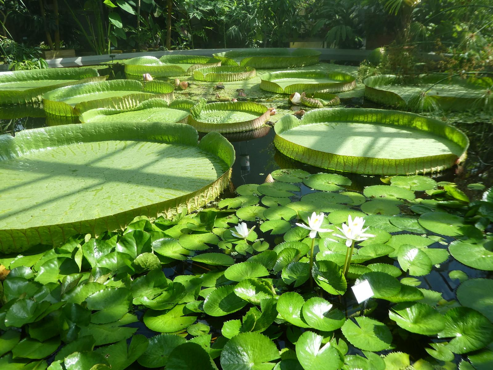 Victoria Amazonia Giant Water Lilies, Uppsala Botanic Garden