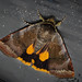 Lesser Broad-bordered Yellow Underwing - Noctua janthe
